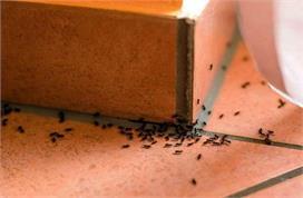 शुभ या अशुभ, जानिए घर में चींटियों का आना किस बात का देता...