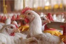 Health Update: 9 राज्यों तक पहुंचा Bird Flu, लक्षणों की...