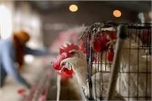 बर्ड फ्लू का कहरः अब दिल्ली के होटल नहीं परोस सकेंगे चिकन,...