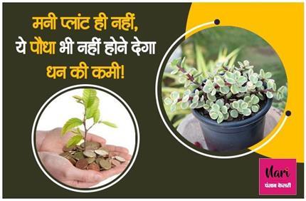 सिर्फ मनी प्लांट ही नहीं, यह पौधा भी चुंबक की तरह खींचता है पैसे!