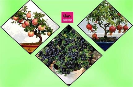 Organic खाने के हैं शौकीन तो आज ही घर पर लगाएं Bonsai Tree