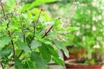 मुरझा जाए तुलसी का पौधा तो हो जाएं सतर्क, इस बात का हो सकता है संकेत