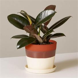 घर में जरूर लगाएं रबर प्लांट का पौधा, नहीं होगी अस्थमा जैसी...