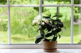 आपकी कई घरेलू परेशानियों का हल है जैस्मिन का फूल, जानें...