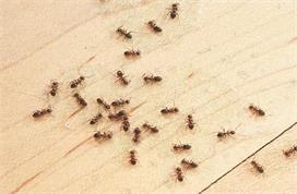 Monsoon Special: चींटियां भगाने में कारगर है हल्दी समेत ये...
