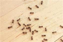 Monsoon Special: चींटियां भगाने में कारगर है हल्दी समेत ये चीजें
