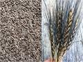 black wheat is beneficial just like golden grain
