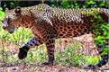 bareilly wild animal experts  campaign to capture leopard and tiger