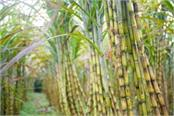 sugar mills directly produces ethanol from sugarcane