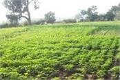 farmers  disillusionment with vegetable cultivation