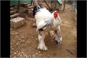 this is the world s biggest chicken photos and video viral