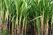 do not increase sugarcane prices in up