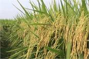 rising of paddy can result in reversal