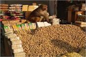 when the monkey bought the peanuts rewadi hanuman devotees put it