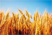 farmer not given land contract owner forced to cut wheat crop