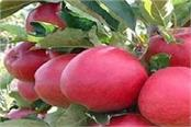 this italian apple will soon be the glory of the himachalese