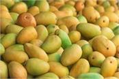 damage to banana masala and mango crop in kerala by storm