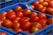 tomato prices fell in haryana punjab