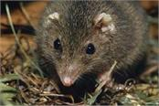 australia  suicidal sex in  marsupial mice