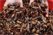 chinese people drink cockroach syrup