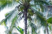 coconut cultivation in rajasthan now