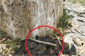 sense of death of one and a half dozen rearmouse in sirmaur