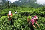 record production of tea in the country