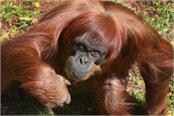 the world s oldest sumatrai orangutan death mother of 11 children