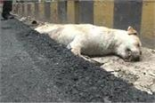 road made on a dog who is asleep drowning under the hot asphalt