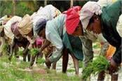 farmers started planting paddy in punjab