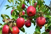 weather on apples increased prices