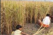 sms to be used in paddy harvesting combines the