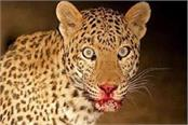 leopard attacked on girl