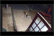 mountain lion walks into colorado motel