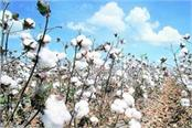 cotton production in india likely to be 3 96 crore bales