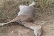 nilgai dies of car collision in gonda mla narrowly escapes