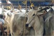 go bhakt cought three animal smuggler in panipat with many cow and ox