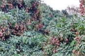 concerns of the litchi growers growing seasonality
