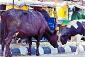 increasing number of stray cattle in the city
