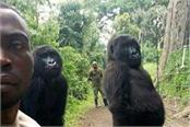 anti poaching officer s selfie with gorillas goes viral