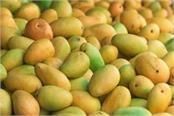 10 tons mango sent by sea to italy