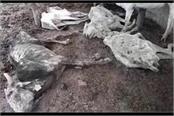 shravasti the death of 8 cows in the gaushala