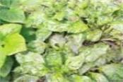 capsicum is under the grip of virus borne disease