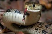damtal yuvak snakebite