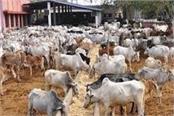 man is making  unhealthy livestock sick
