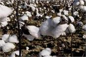 cotton prices up by rs 400 on diwali
