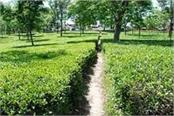 big relief for kangra tea industry production figures set to touch 1 1 million
