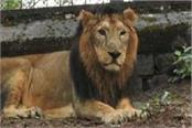lioness gave birth to 2 cubs in gopalpur zoo