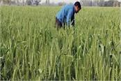 rising temperatures inflame farmers  breath impacting crops heavily