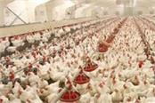 corona hit 60 poultry farms in the district on the verge of destruction